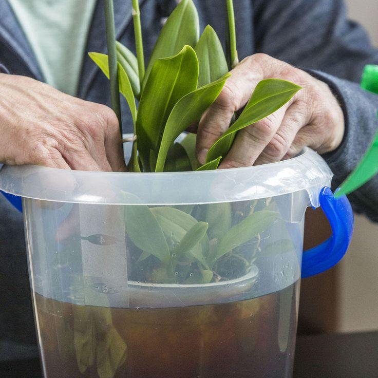 Orchideen zum Blühen bringen: So gelingt's garantiert