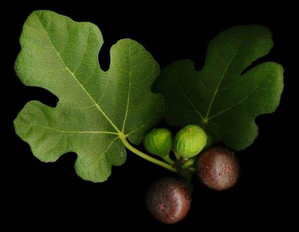 Este fruto y sus hojas son una bendición!! Combate la diabetes, reduce triglicéridos, colesterol, cura la bronquitis, úlceras, fortalece los huesos y ayuda a eliminar piedras en los riñones – Medicina Sana