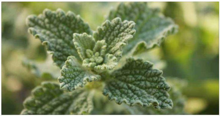 Planta que puede reparar casi al instante el hígado, la vesícula y desinflama los intestinos