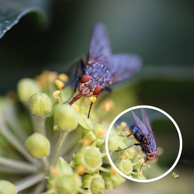 ein bisschen Außerirdisch  #fliege #fly #insekt #insect #naturephotography