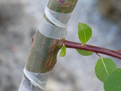 Прививка плодовых деревьев почкой. Как правильно привить. Время окулировки. Видео - YouTube