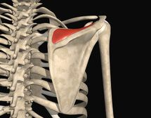 4 Muscles That Together Are The Rotator Cuff: Supraspinatus Muscle & Tendon