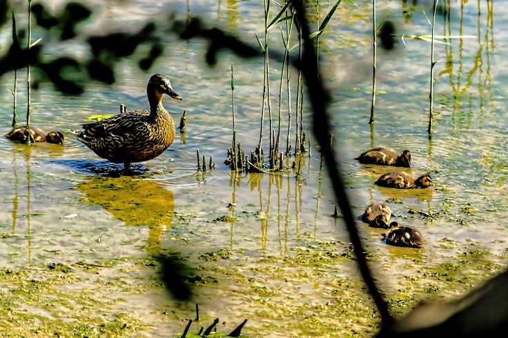 Duck family by Стас Киренков on 500px