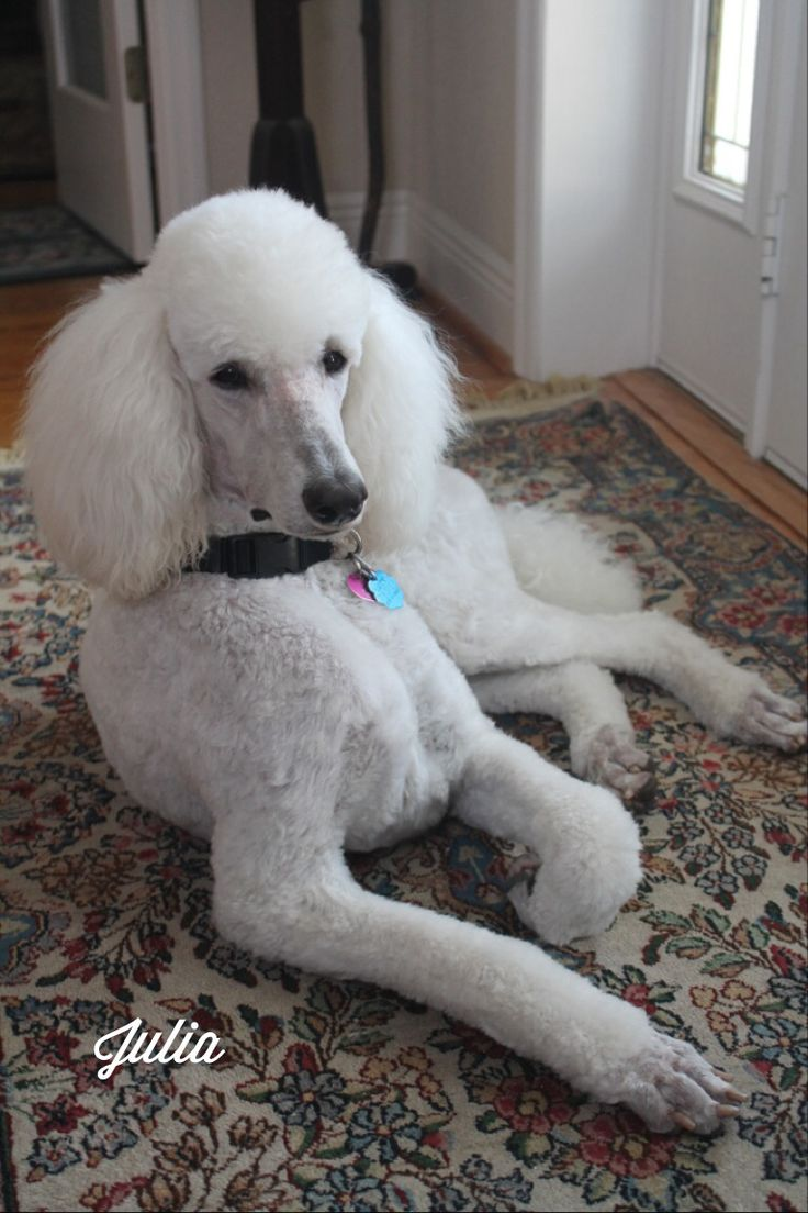 Best 25 Poodle Haircut Ideas On Pinterest Labradoodle