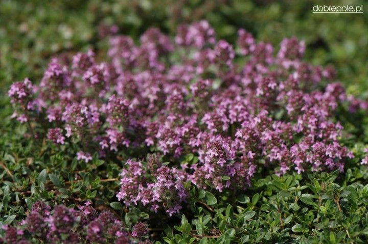 "Thymus serphyllum ""Magic Carpet"""