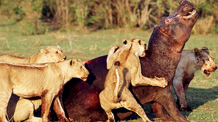 Lion vs Hippopotamus - Videos lion hunting - lion hunting hippo videos - Follow leopad in night