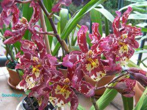 Wilsonara Eye Candy | Oncostele (Wilsonara) Eye Candy 'Penny Candy' https://queenslandorchid.wordpress.com/2013/08/04/orchid-blooms-as-eye-candies/