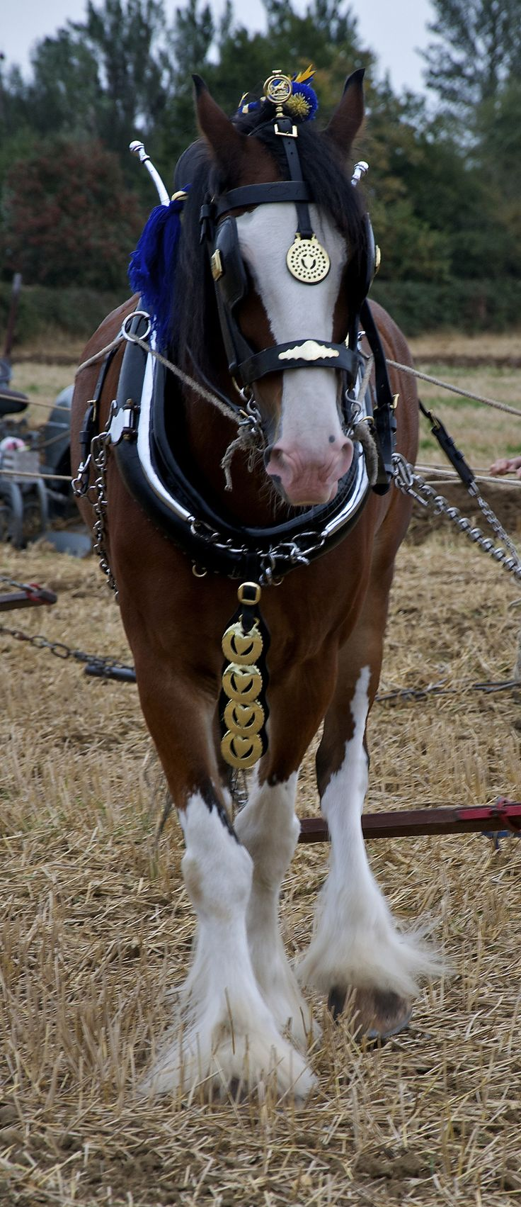 Clydesdale Using A Drag Harrow