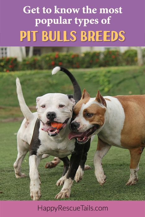 Get to Know the Most Popular Pit Bull Breeds. Pitbull dog, pitbull breeds, pitbull dogs, animal advocate, animal lover, dog breeds, amstaff, American bully, American pit bull terrier, American Staffordshire Terrier, Staffie, Staffordshire Bull Terrier, Pibble, Pittie, Don't bully my breed, end BSL, pitbulls are lovers, adopt don't shop, blog, dog guides, dog temperament, pitbull temperament, pitbull pictures.