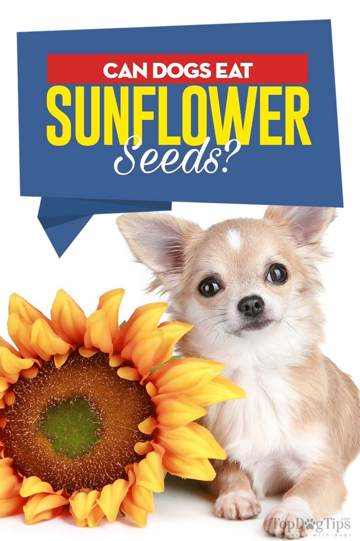 Sunflower Seeds For Dogs 5 Benefits And 3 Side Effects Sunflower Seeds Sunflower Seeds Benefits Can Dogs Eat