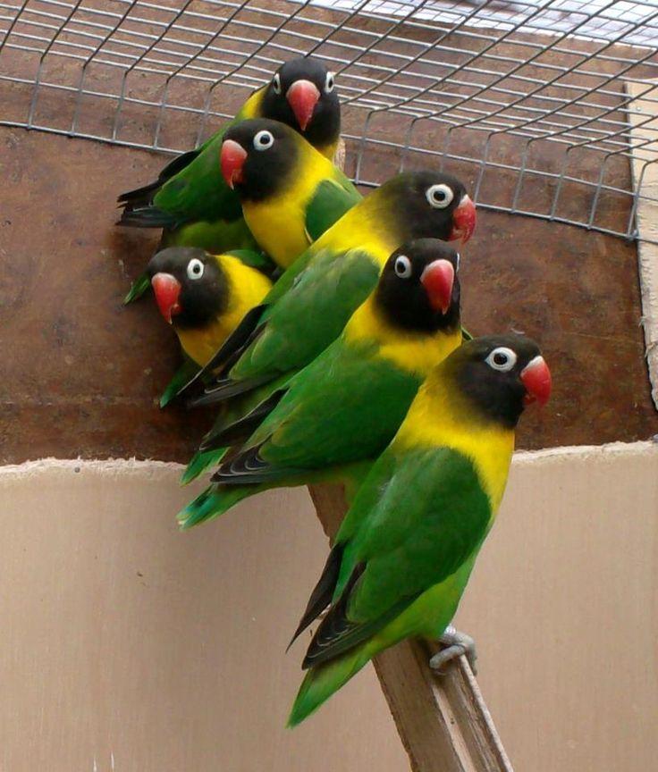 Group of Black masked lovebirds. I have to have one!