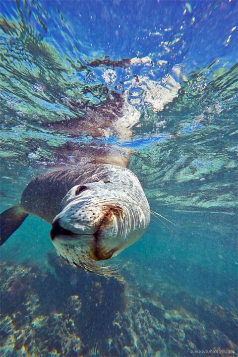 Sea lion@Jurien bay