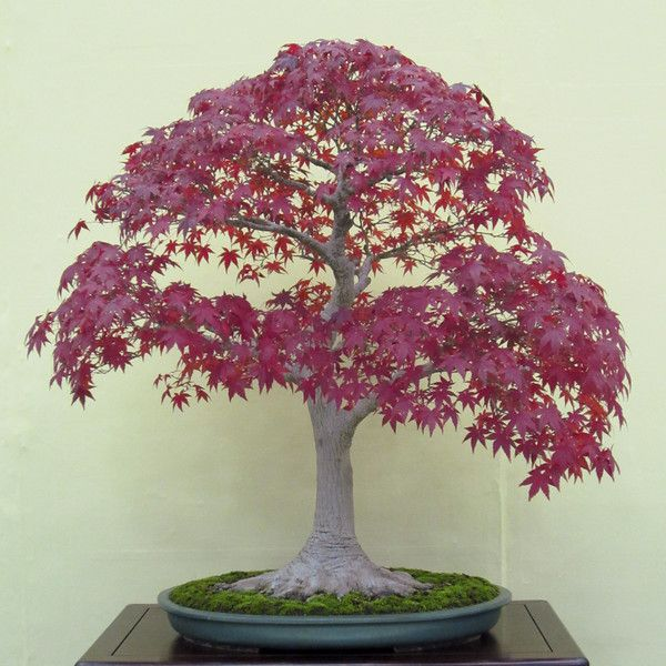 The 25+ best Maple bonsai ideas on Pinterest | Japanese ...
