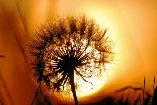 dandelion sunset related keywords - photo #39