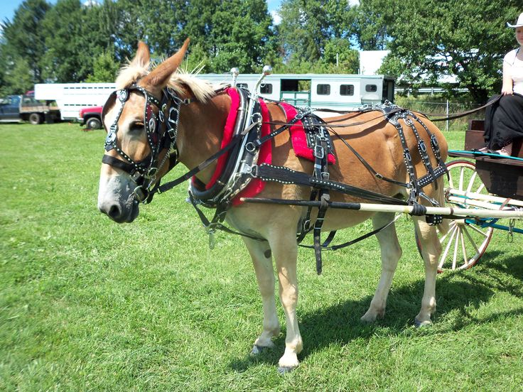 Animals Pulling Wagon : Best images about animals that can pull a wagon or cart