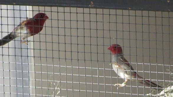 Crimson Finches (white-bellied pair)