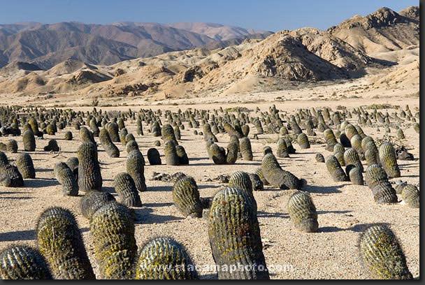A field of Copiapoa cacti (Copiapoa cinerea) at Pan de Azucar National Park