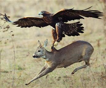 Who says hawks don't hunt deer?