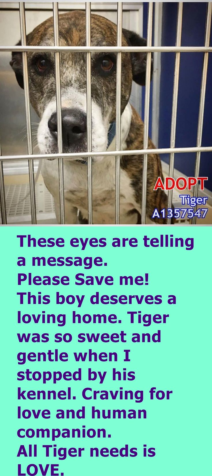 Tiger #A1357547 is about 7-years old, terrier mix box, neutered. He has been at the shelter since Aug 11 2016. Stray. located at Miami Dade https://www.facebook.com/urgentdogsofmiami/photos/a.474760019225073.115405.191859757515102/1330551330312600/?type=3&theater