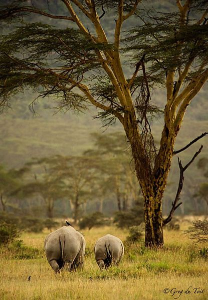 """Photograph by nature photographer Greg du Toit  Rhino Bums  """"White Rhino are such peaceful creatures. They are of such shy demeanor and just really want to be left alone. Ironically man has done anything BUT leave them alone! With rhino poaching on a dramatic incline we cannot let these creatures disappear into extinction. I believe that we will not let this happen and the feeling in my home country of South Africa is that we will definitely not let this happen!"""""""