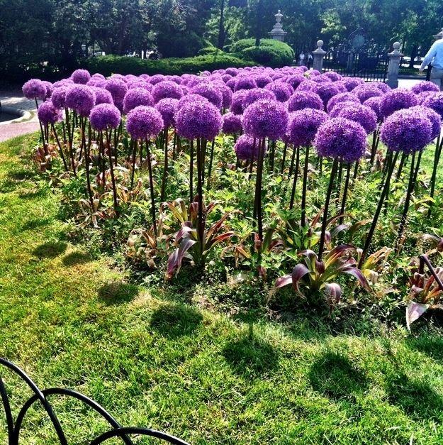 Allium flower, aka truffula flower from Dr. Seuss | 22 Insanely Cool Conversation-Piece Plants For Your Garden