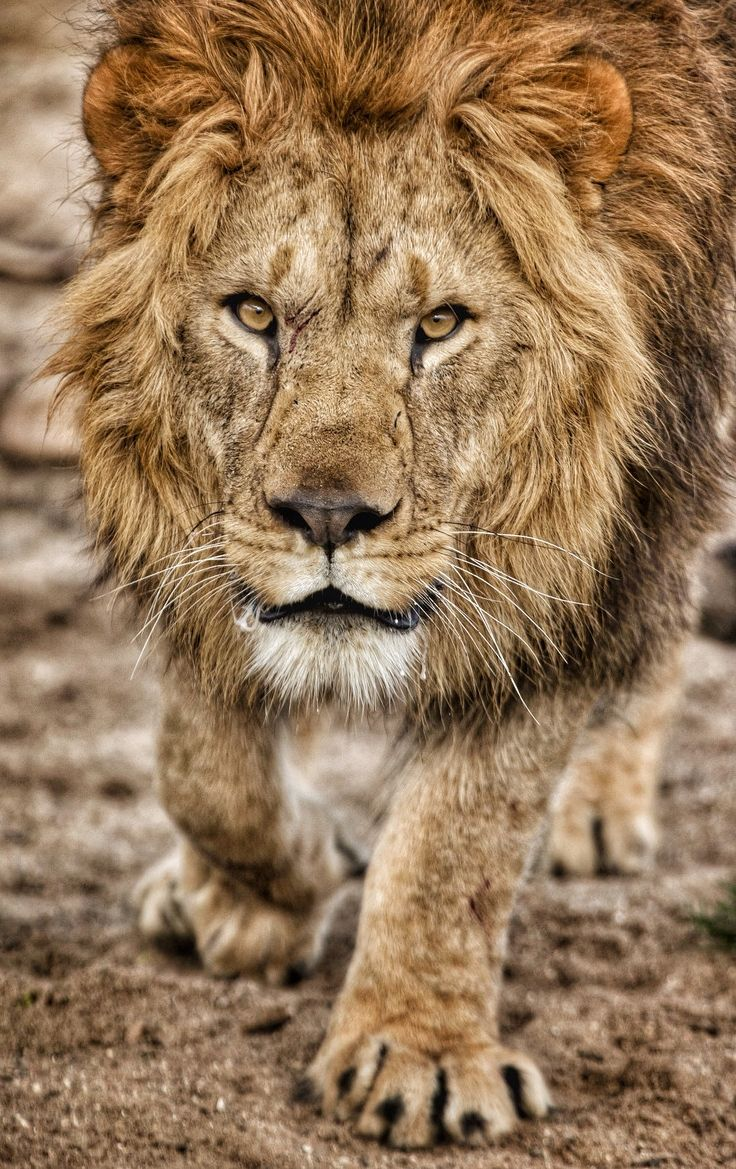 "No Fear! by Frank Rønsholt, another pretty kitty, ""King of safari, but not really the jungle"""