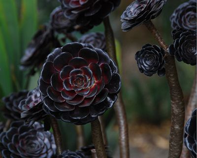 black for the garden - Aeonium arboreum 'Zwartkop'- One of the most striking of all succulents!
