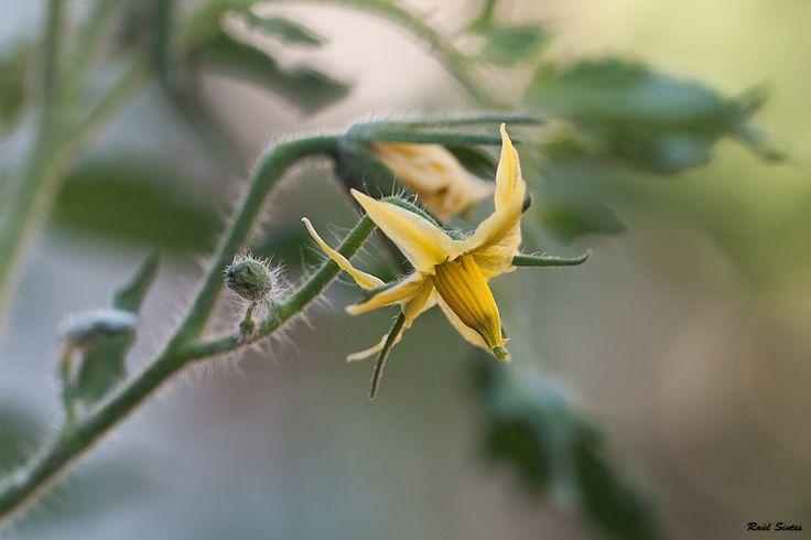 Les tomatigueres del meu jardí estàn en plena floració, espero tenir una bona collita.  estic cansat de menjar tomàtics que fan gust de cartró. on Revelartfotografía  http://www.revelartfotografia.org/wp-content/gallery/menorca-rural/DSC_2963-Flor-de-tomatiguera1000.jpg