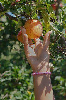 Apple, Pobrania, Owoców