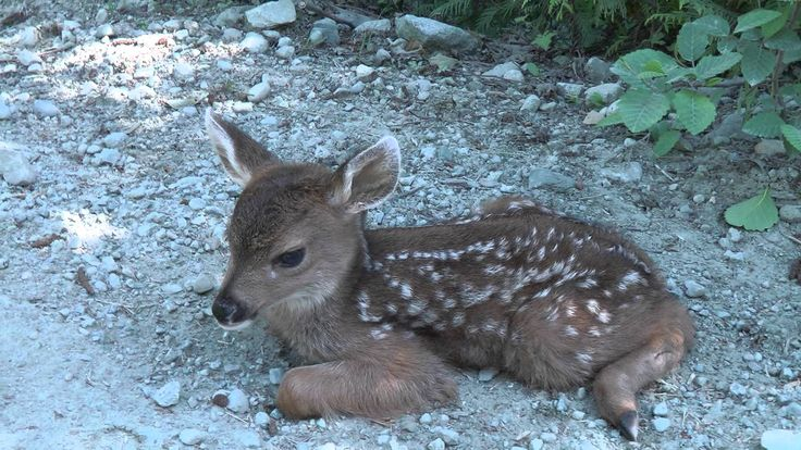 """Baby Deer calls Logger """"Mom"""".  This is such a sweet video, but it saddens me to no end as well.  This is one of many reasons I have no respect for hunting (I've heard & examined all the excuses; none of them are plausible).  Orphaned babies are left with no one to care for them, frightened, confused, lost and very vulnerable.  Left to fend for themselves, most usually starve to death days later.  Some humans lack compassion, are very selfish and careless.  I don't care who this offends."""