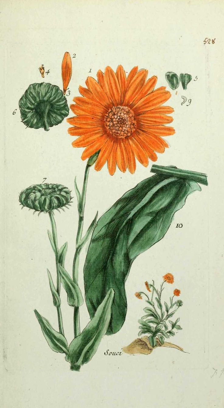 Calendula Officinalis Calendula October Flower In 2019