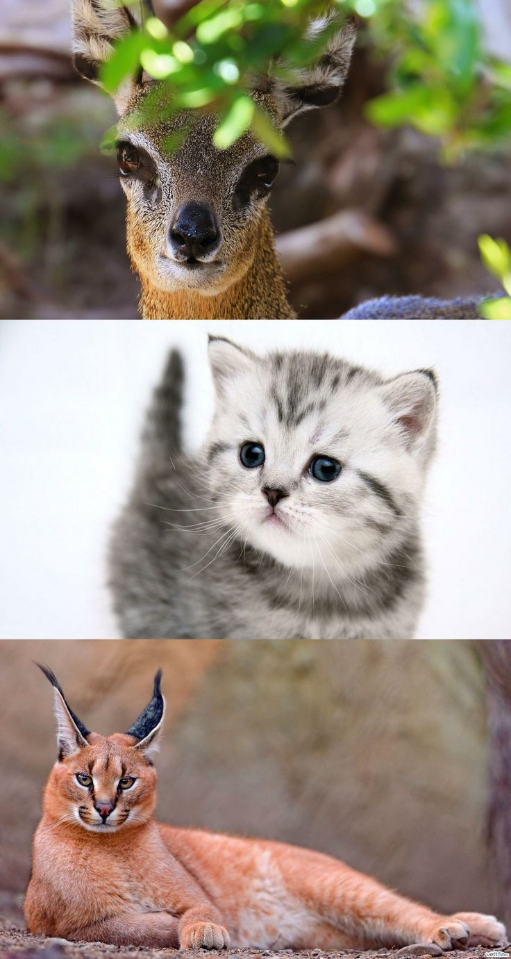 17 Images About Baby Wild Cats On Pinterest Animal
