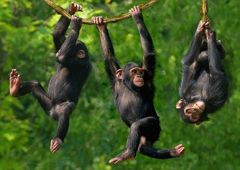 Teamwork, not pure brain power, is the 'secret ingredient' that gave Man an advantage over the apes, say scientists    Read more: http://www.dailymail.co.uk/sciencetech/article-2108793/Teamwork-brainpower-secret-ingredient-gave-Man-advantage-apes-say-researchers.html#ixzz1nzNp8ZRk