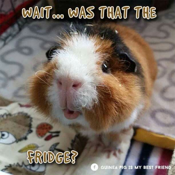 1000 Ideas About Cute Guinea Pigs On Pinterest Guinea