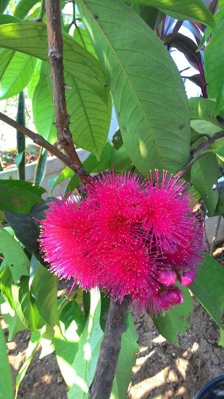 Jamaica guava flower