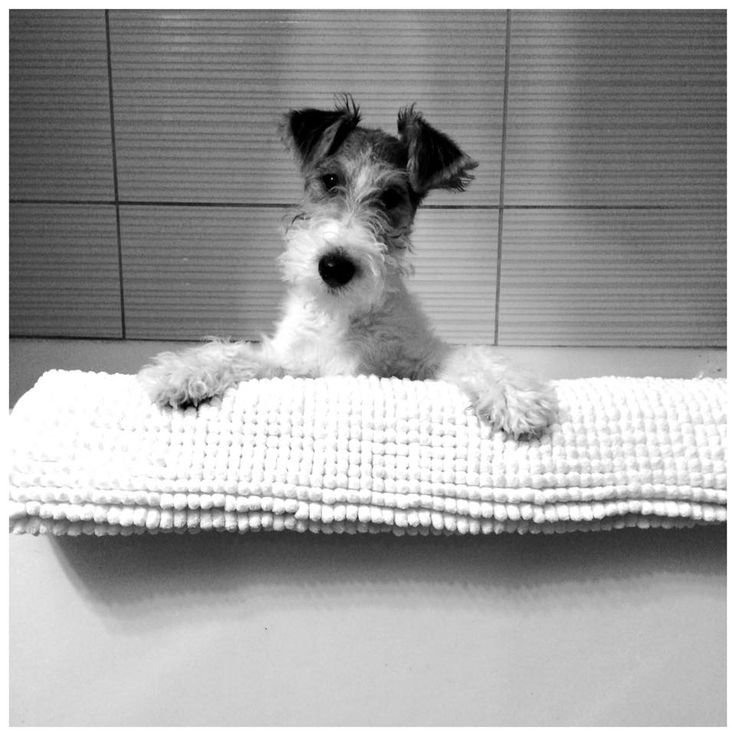 316 best fox et fox terrier images on Pinterest | Fox, Foxes and Doggies