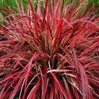 38 best images about ornamental grass varieties on for Variegated ornamental grass varieties
