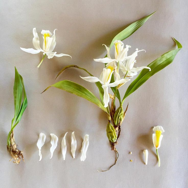 C O E L G Y N E . cristata, this epiphytic orchid's scent is reminiscent of horse manure but kind of in a good way.