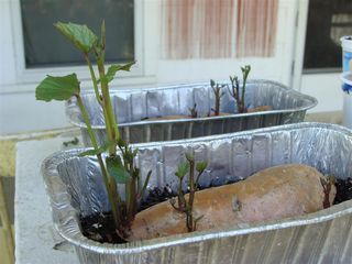 Start sweet potato plants with a old sweet potato and disposable bread pan