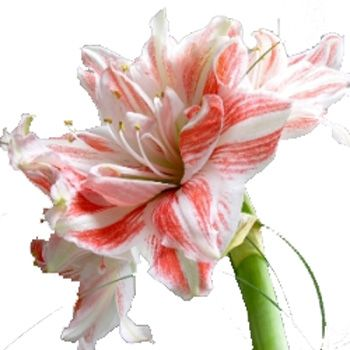 ✾The stunning amaryllis is a smooth-textured foliage that grows in early summer then dies back. In August or September the flower stalks come up without foliage, producing 2 to 12 fragrant, funnel-shaped, pale pink or sometimes purple or white blooms on a solid 24 to 36 inch (60-90 cm) stem. These flowers last a long time in the garden, as well as cut flowers✾