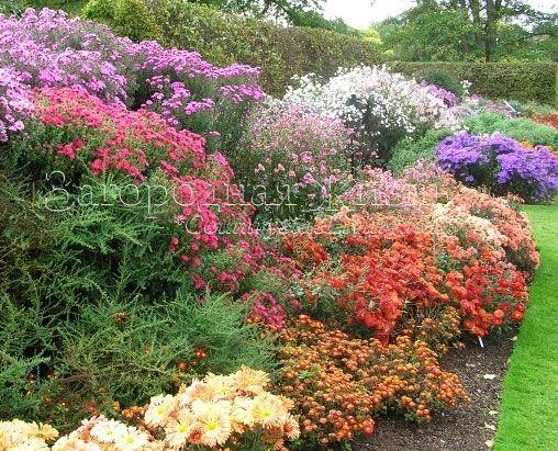 Хризантемы, анемоны, астры, георгины... Осенние цветники в Ботаническом саду Королевского садоводческого сообщества Великобритании в Уизли (Суррей, ю. Англия)