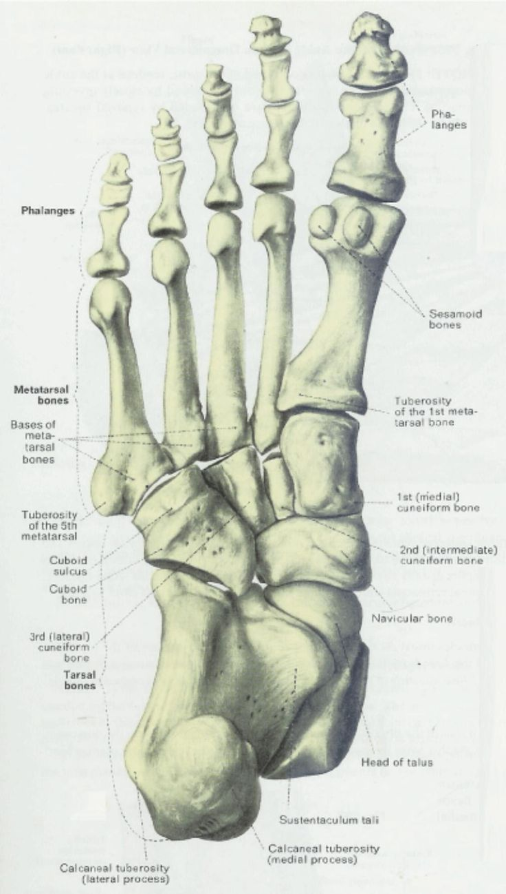 Foot Bones - detail - Inferior View
