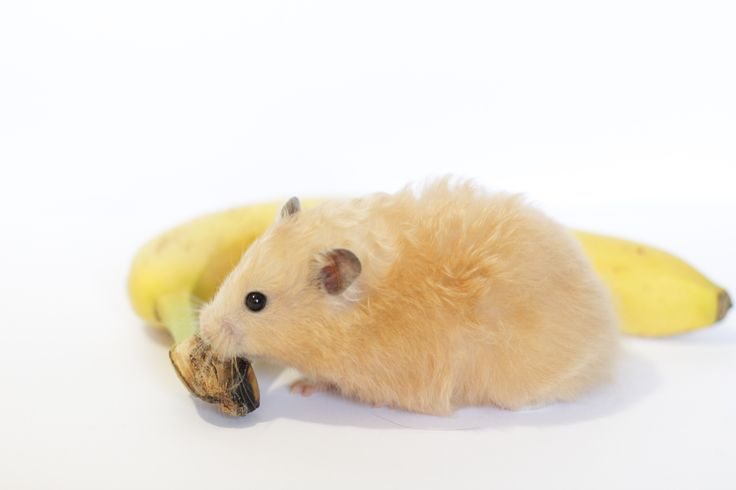 Can Hamsters Eat Bananas and 22 other common treats? Find out right here, where we cover ALL the most common hamster treats