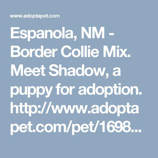 Espanola, NM - Border Collie Mix. Meet Shadow, a puppy for adoption. http://www.adoptapet.com/pet/16985365-espanola-new-mexico-border-collie-mix