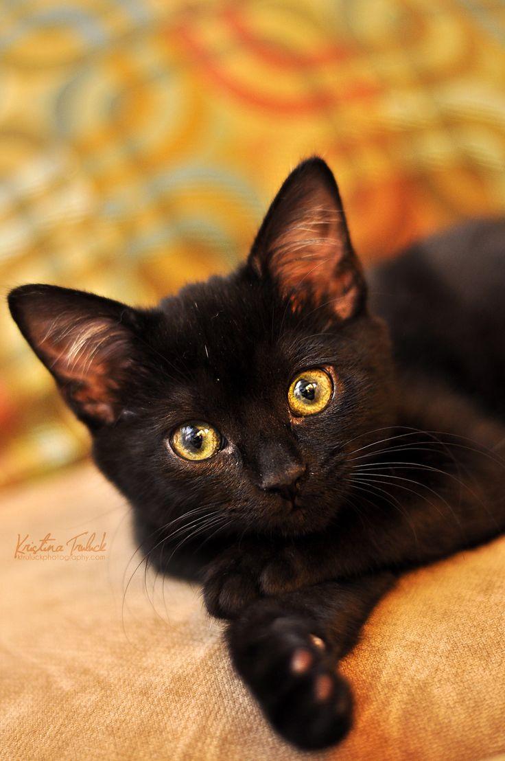 GATO BOMBAY En 1958, en Kentucky los criadores intentaron una cruza entre un gato americano de pelo corto y un Sable-cafe Burmes con fines de crear una raza domestica parecida a la pantera salvaje. La descendencia de esta cruza produjo una camada semejante al Leopardo negro de la India.