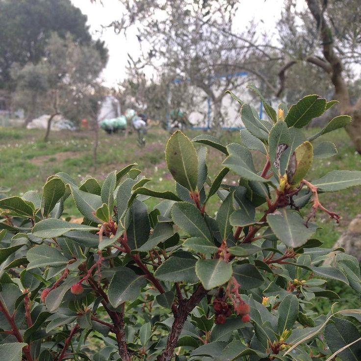 Bahçeye dağdan getirip diktiğim dağ çilekleri tuttu ve ilk meyvelerini vermeye başladı. Bundan daha büyük mutluluk yok :) #çilek #dağçileği  #köy #doğa #doğalyaşam #doğaylaiçiçe #doğalgayat #doğadayız #doğalortam #doğasever #doğayısev #doğayıseviyorum #doğada #doğadainsan #doğadostu #doğadostları #dağevi #tinyhouse #container #containerhouse #çiftlik #çiftlikevi #organikhayat #organikyaşam #organikyaşamalanı by kalabaliktanuzakta