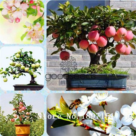 Big sale High-quality green apple seeds, homes planting fruit seeds , sweet and delicious, free shipping to send 50pcs