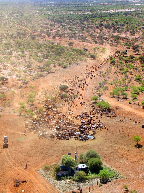Aerial view, cattle, outback, Australia. Photo: Pilbaraheli