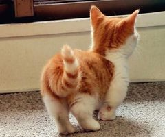 This kitten is adorable and so has an attitude!: Kitty Cats, Shorts Leggings, Pet, Munchkincat, Munchkin Cats, Gingers, Munchkin Kittens, Dwarfs Cats, Animal