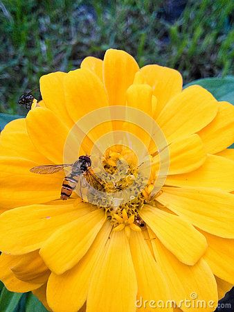 Little hornet on zinnias